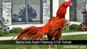 Warna bulu Ayam Petarung S128 Terbaik