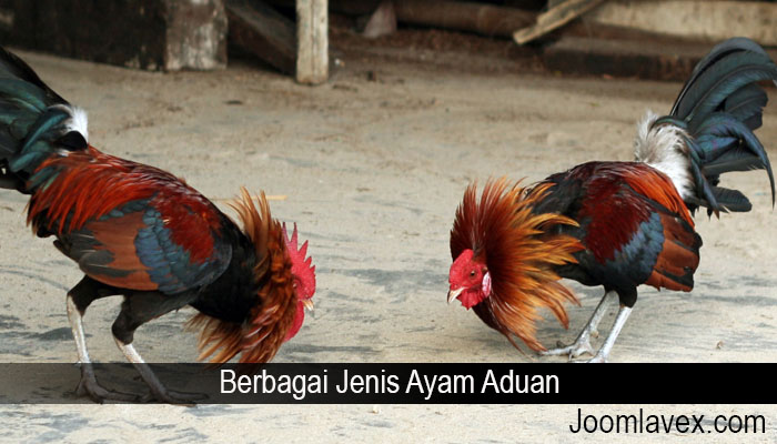 Berbagai Jenis Ayam Aduan
