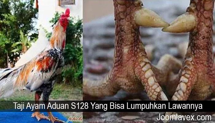 Taji Ayam Aduan S128 Yang Bisa Lumpuhkan Lawannya